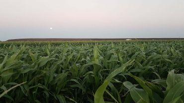 Consider soil water storage before sowing a grain sorghum crop