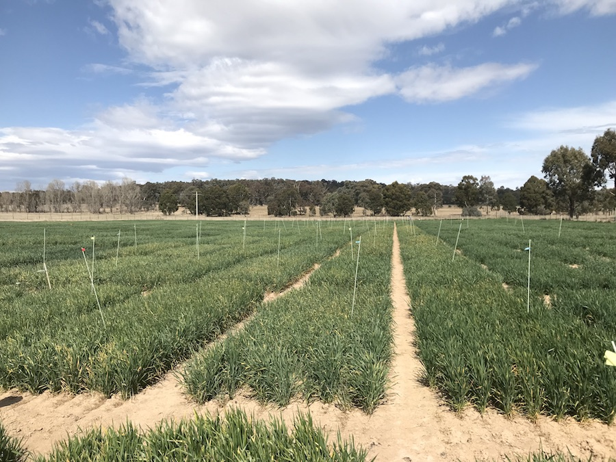 Wheat plants in a CSIRO frost trial.