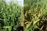 Disease-resistant oats support bright future for crop