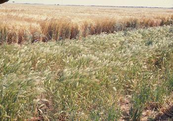 barley grass in a paddock