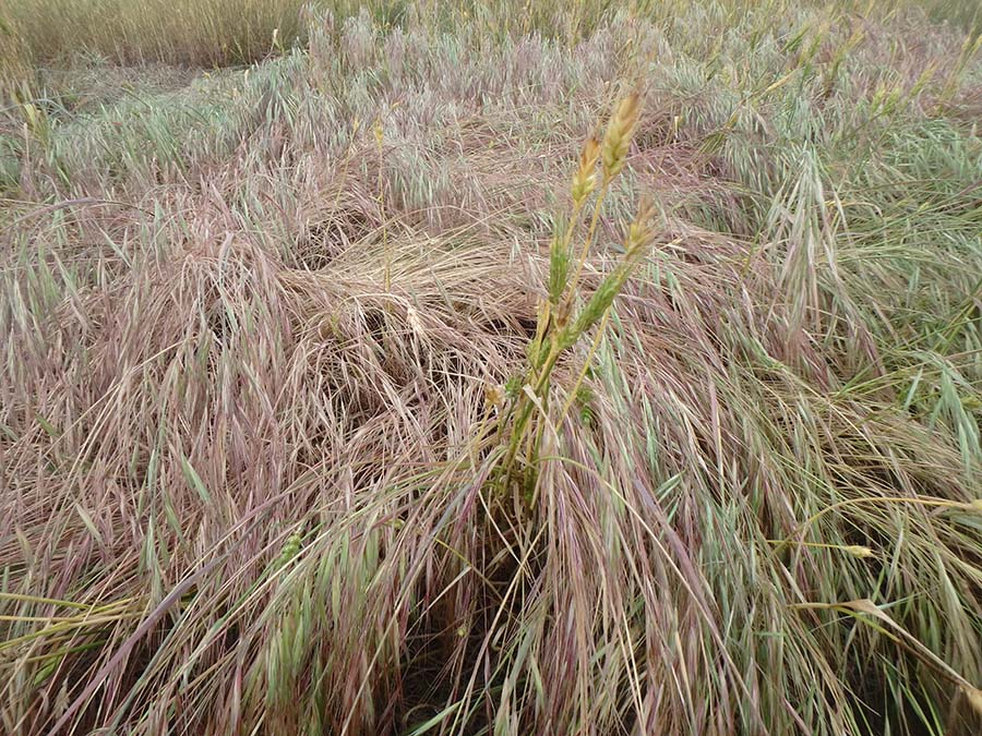 Heavy infestation of brome in wheat.