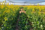 Gene data to power canola/environment matchmaking