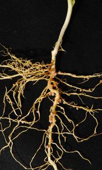 field pea nodules on roots