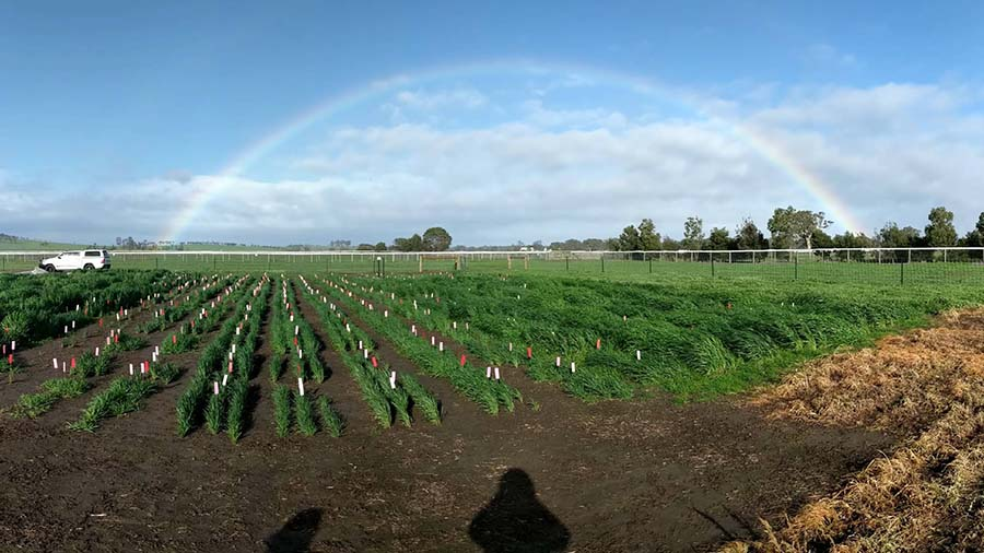 A diverse collection of 64 Australian wheat and 32 barley cultivars is being evaluated in four field experiments across Australia to develop a model to predict cultivar development. The Victorian experiment, at Yan Yean, is pictured. PHOTO Max Bloomfield