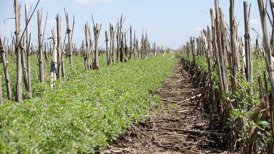 Chickpeas growing well in stubble. PHOTO Pulse Australia