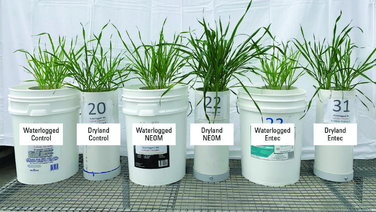 Figure 3: Nutrient-enriched organic amendment can partially overcome the negative effects of waterlogging on vegetative wheat.