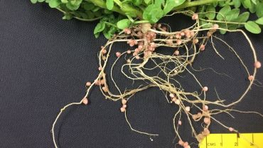 Annual legumes to build soil nitrogen for crops
