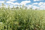 New efforts to raise oat productivity and value