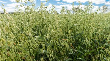 Moves to secure oats' food status