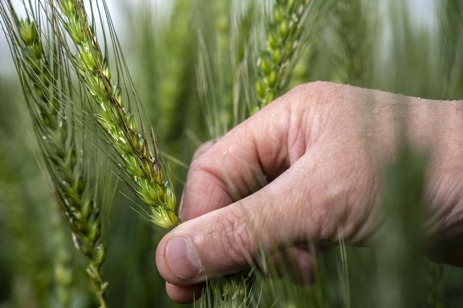 SNB wheat head