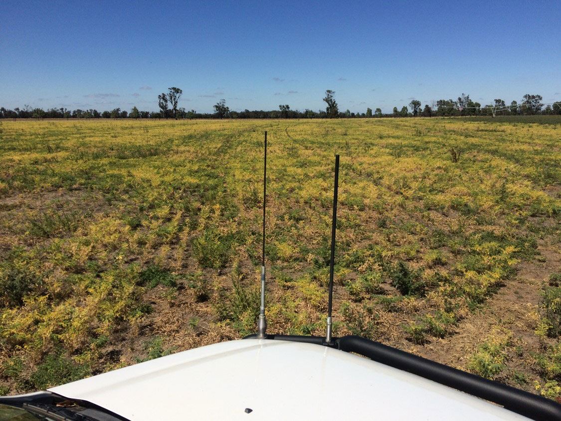 disease in chickpea crops in SA in 2017