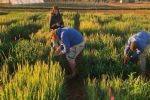 Optimal sowing times for wheat and barley cultivars may soon be at our fingertips