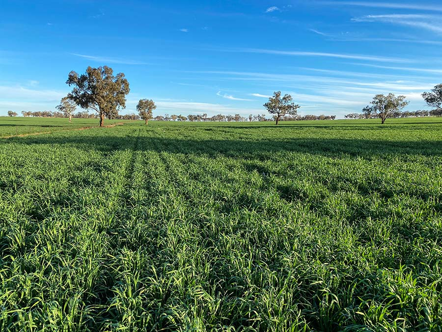 A developing wheat crop in southern NSW.