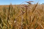 Brome grass control takes persistence