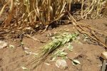 WA growers urged to check crops for mouse damage
