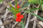 Eradication of red witchweed on track