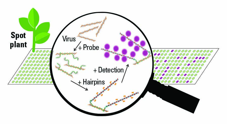 The method being developed to screen plants en masse for viruses works by using a probe and DNA hairpins. The DNA probe is designed to bind to either a family, group or specific virus. To alert researchers to a virus, two specially designed DNA hairpins then act as initial messengers. SOURCE: Dr Paul Campbell