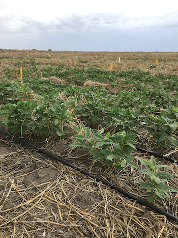 Soybean plants growing in trials at Horsham, Victoria.