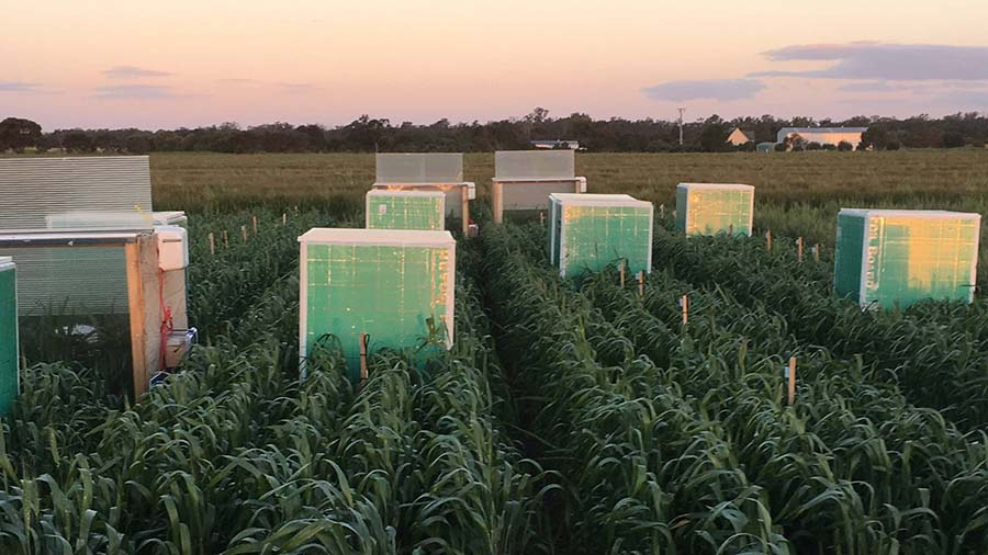 Artificial frost effects are applied to wheat using field chambers in Horsham. PHOTO Agriculture Victoria