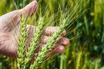 Two thirds of wheat paddocks hitting potential: survey