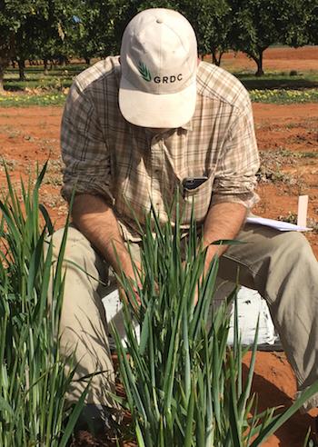 Maarten van Helden counting Russian wheat aphids on cereals