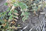 Disease check urged before planting 2021 chickpeas