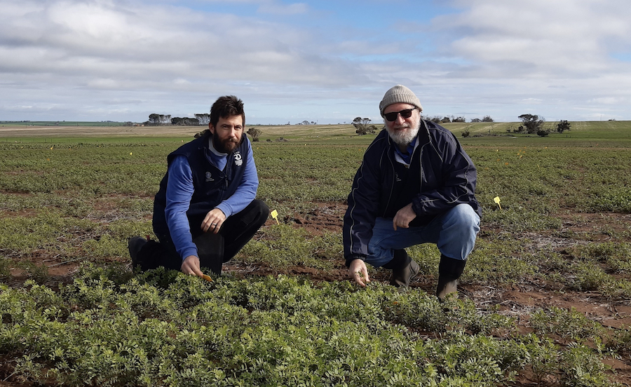 SARDI researchers Lachlan Lake and Victor Sadras in a paddock trial.