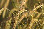 Wheat and barley genomes under scrutiny to avert future food crisis