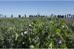 New pulse cultivars expand legume options in medium and high rainfall areas