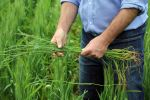 Ryegrass management in the HRZ relies on a stacked approach